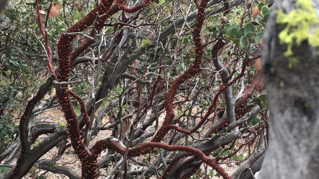 Manzanita Tree. Ruth and Rick Meghiddo. All Rights Reserved